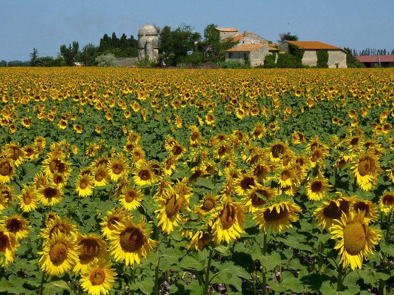 Arles sunflowers